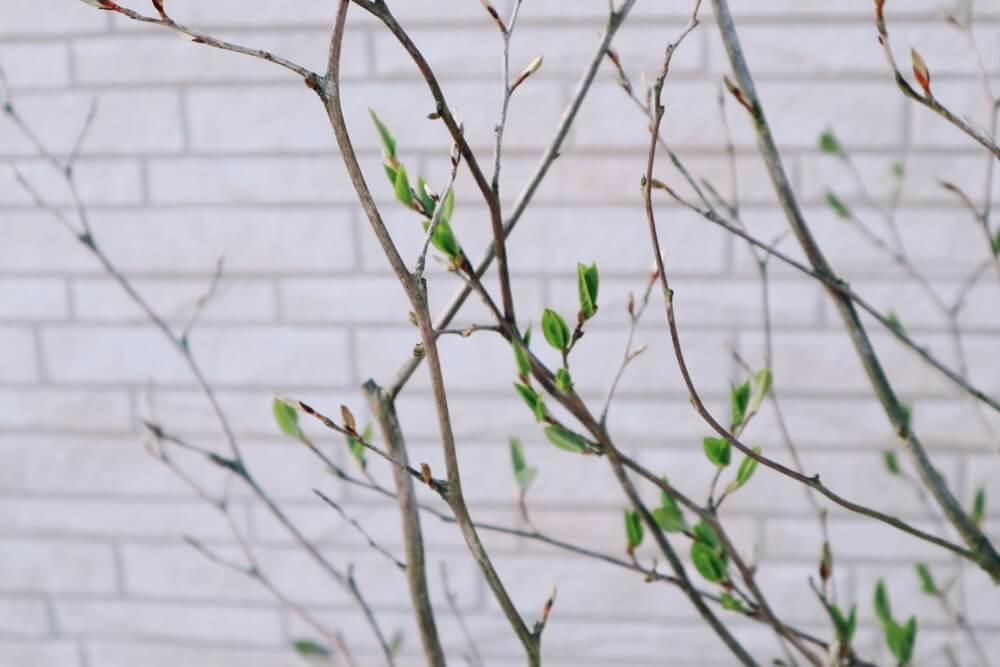 春になって蕾が出てきたシャラの木