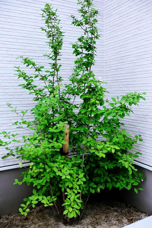 シャラの木は夏になると葉っぱが生い茂る