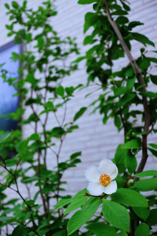 夏になってかわいい花が咲いたシャラの木(全体)
