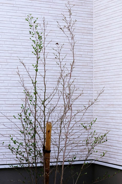 春になって葉っぱが出てきたシャラの木