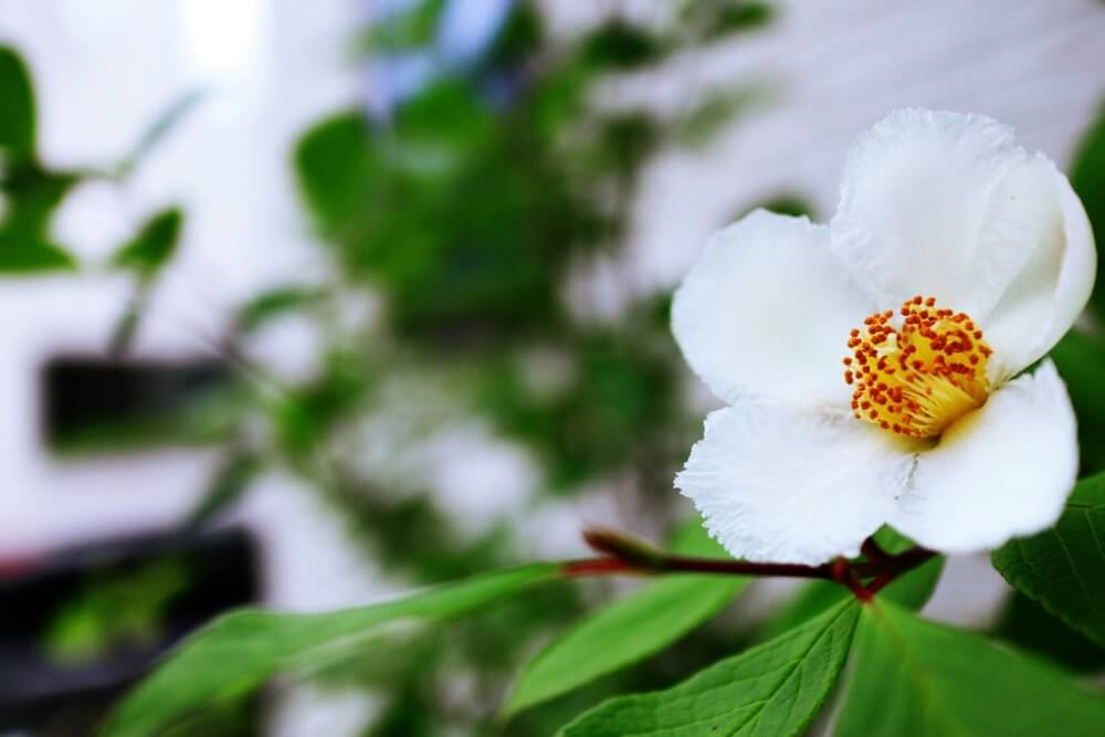夏にはかわいい花が咲くシャラの木